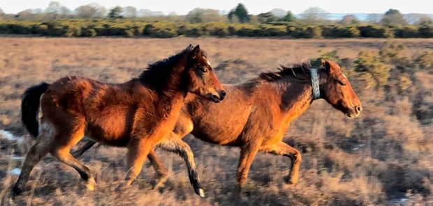 Ponies galloping in the New Forest in winter