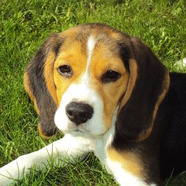 CRGV or Alabama Rot - be sure to check your dog for skin lesions after walks