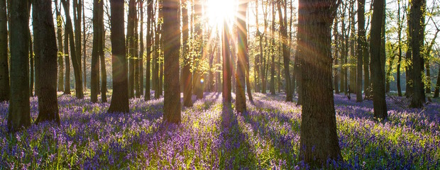 Where to find bluebell woods in the New Forest and Lymington area