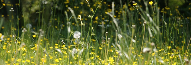 Meadow grasses and flowers